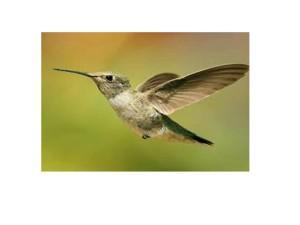 il piccolo colibrì della favola amerinda 032015